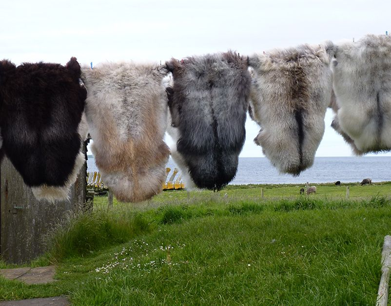 North Ronaldsay Sheepskin Rug I